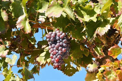 Leaf, Grape, Fruit, Nature, Leaves, Wine, Grapes