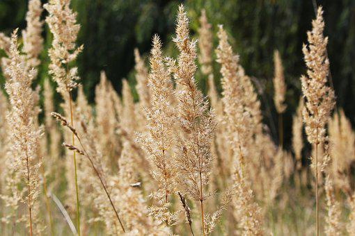 Grasses, Edge Of Field, Grass, Nature, Meadow, Ear