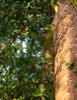 Log, Holly, Tree Bark, Sunshine, Maple, Tree, Red, Ilex