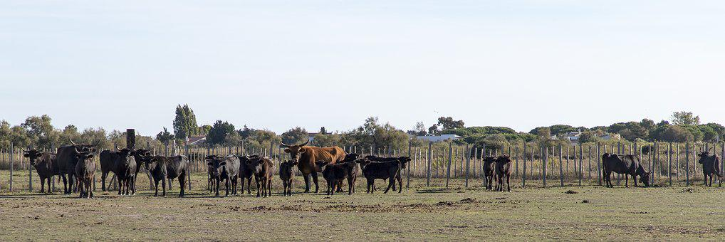 Camargue, Bulls, Horns, Animals, France, Nature, Cattle
