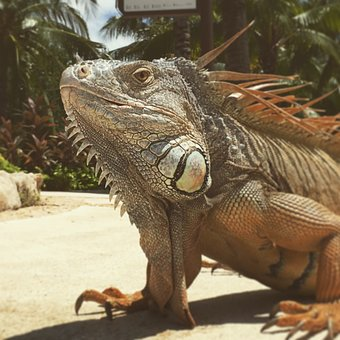 Iguana, Animal, Lizard, Reptile, Exotic, Animals, Green