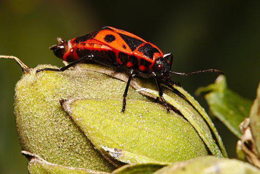 Fire Bug, Insect, Close Up, Bug, Macro, Insect Photo
