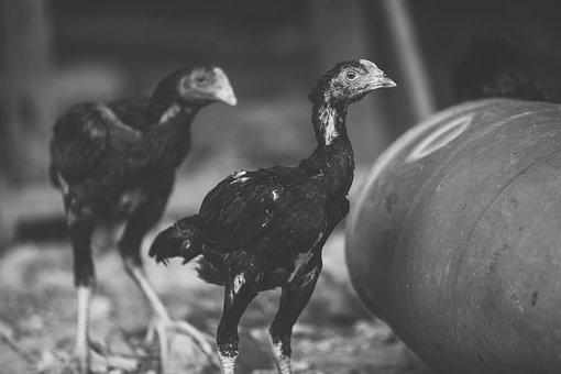 Chicken, Mother Hen, Black And White