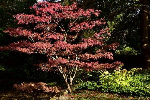 Maple, Maple Tree, Nature, Tree, Leaves, Autumn, Leaf