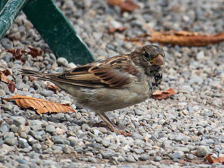 Sparrow, Sperling, Bird, Animal, Animal World, Nature