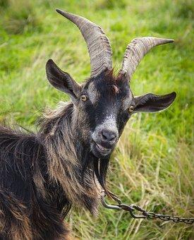 Goat, Animal, Mammal, Horns, Farm, Nature, Countryside