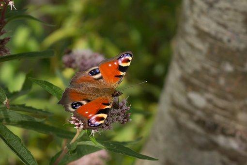 Butterfly, Peacock, Nature, Bug, Flower, Butterflies