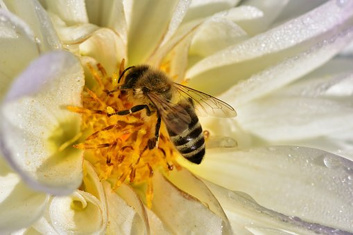 Bee, Honey Bee, Pollen, Insect, Nectar, Blossom, Bloom