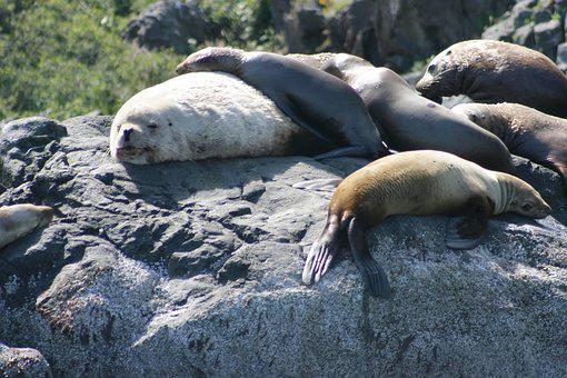 Animals, Ocean, Sea Lions, Sea, Nature, Water, Wildlife