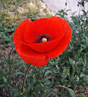 Flower, Mack, Red, Nature, Bloom, Summer, Flowers