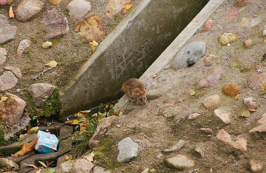 Rat, Wandering, Rattus Norvegicus, Rodent, Channel