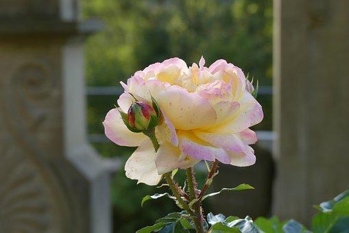 Rose, Blossom, Bloom, Pink, Flower, Romantic, Cemetery