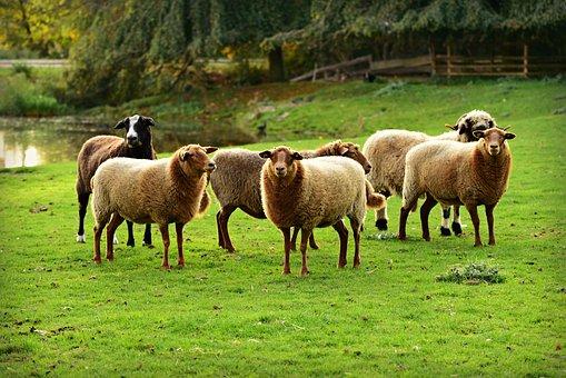 Sheep, Mammal, Animal, Wool, Even Toed, Standing