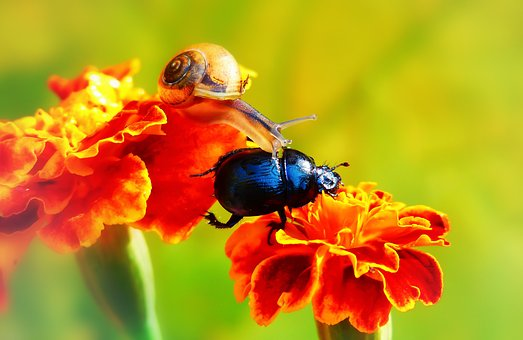 Forest Beetle, The Beetles, Insect, Molluscs, Snail