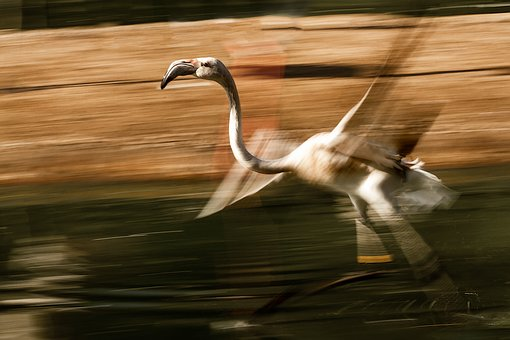Flamingo, Movement, Fast, Panning, Speed, Animal