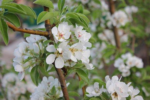 Garden, Bloom, Flower, Aroma, Spring, Beautiful