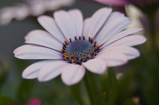 Spanish Marguerite, Natural, Macro, Flower, Structure