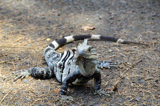 Costa Rica, Black Iguana, The Parc Manuel Antonio