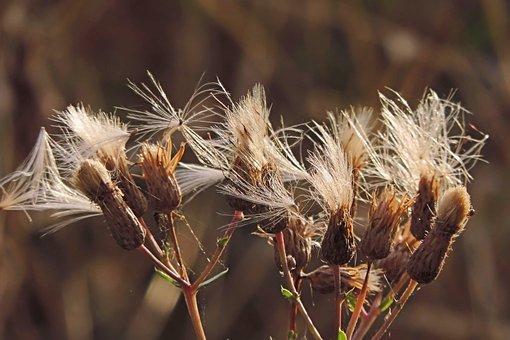 Thistle, Seeds, Dandelion, Plant, Nature, Autumn