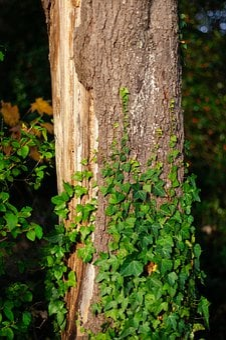 Log, Ranke, Bark, Ivy, Tree, Tree Bark, Bare