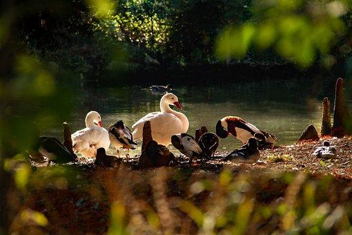 Waterfowl, Birds, Pond, Nature, Animals, Scene Nature
