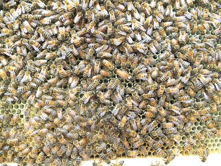 Honey Bee, Queen Bee, Hive, Comb, Wax, Beekeeping