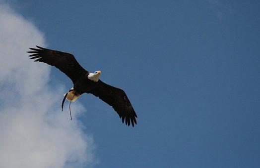 Bald Eagles, Adler, Bald Eagle, Wild Bird, Majestic