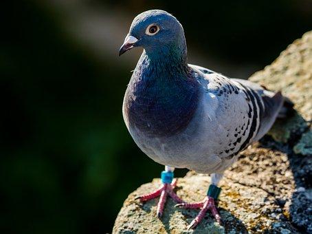 Pigeon, Bird, Animal, Urban Pigeon, Gray, Birds, Doves