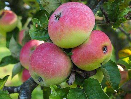 Apple, Apple Tree, Fruit, Red, Fruits, Ripe, Frisch