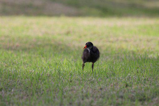Chick, Common Moorhen, Bird, Gallinula Chloropus