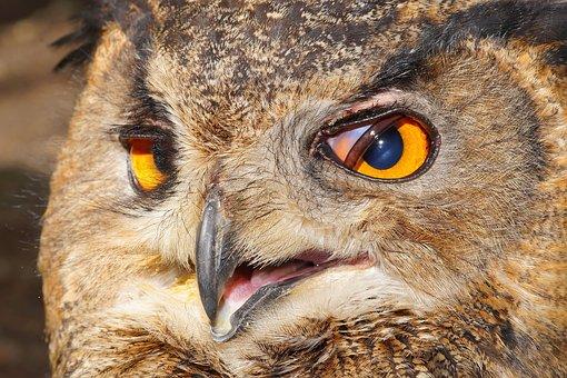 Owl, Eagle Owl, Bird, Raptor, Bird Of Prey