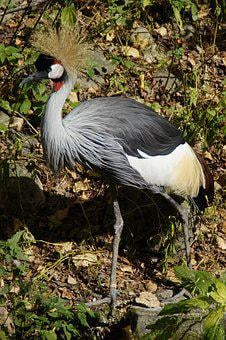 Crane, Grey Crowned Crane, Bird, Spring Crown