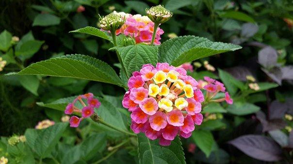 Lantana, Flower, Morning, Bird's Flowers