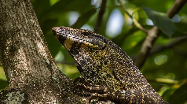 Monitor Lizard, Goanna, Reptile, Scales, Black, Yellow