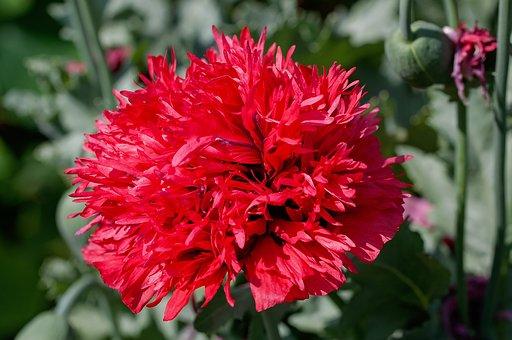 Carnation, Flower, Blossom, Bloom, Ornamental Plant