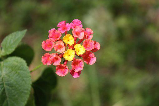 Lantana Camara, Flower, Tiny, Pink, Yellow, Blossom