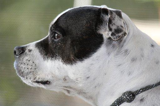 Staffy, Staffordshire, Bull, Terrier, Bullterrier
