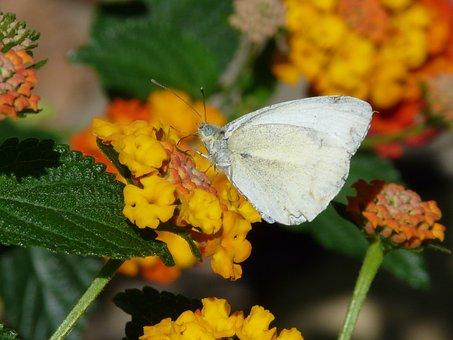 Lantana, Flower, Butterfly, Wood White