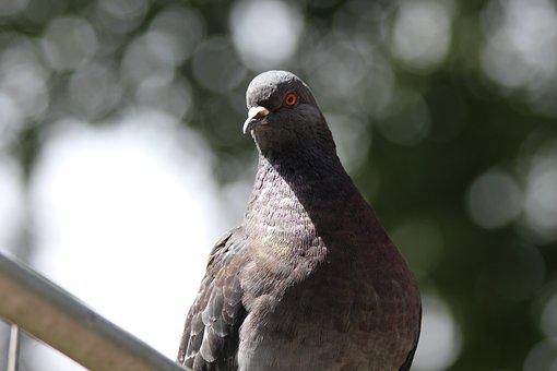 Dove, Rock Pigeon, Columba Livia, Bird, Feathered Race