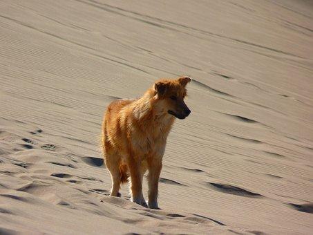 Lonely, Alone, Dune, Desert, Dry, Hot, Sand, Dog