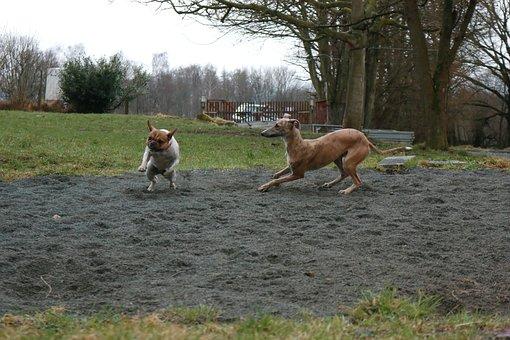 Dogs, Play, Bully, Galgo