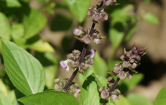 Tibetan Basil Flowers, Culinary Herb, Herb, Flower