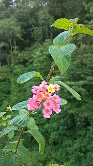 Lantana Camara, Flower, Plant, Big-sage, Tickberry