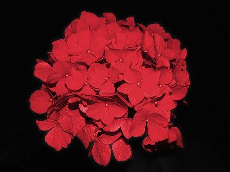 Hydrangea, Blossom, Bloom, Flower, Garden Plant, Red