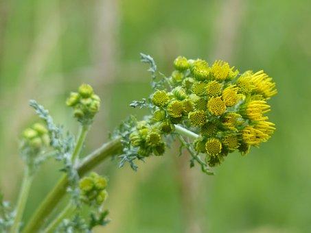 Jakobs Greiskraut, Flowers, Yellow, Flower