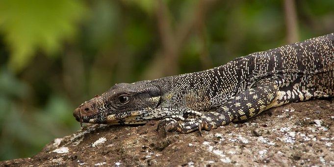 Monitor Lizard, Goanna, Reptile, Wildlife, Claws