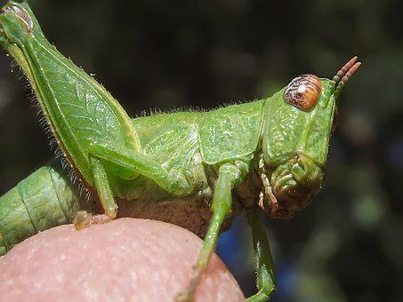 Grasshopper Nymph, Green, Nature, Insect, Wildlife