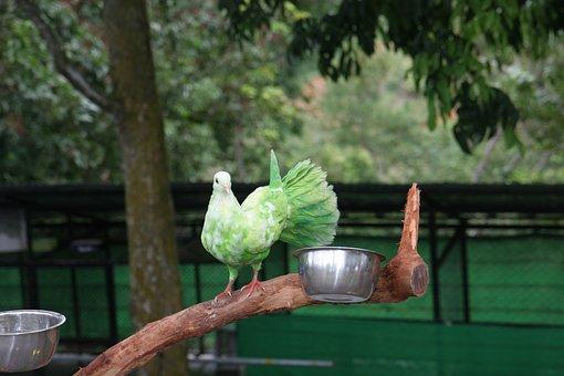 Samui, Paradise Park, Green Pigeon