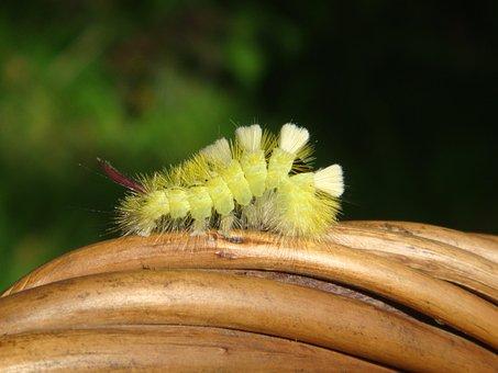 Caterpillar, Nature, Summer, Creep, Hairy Caterpillar