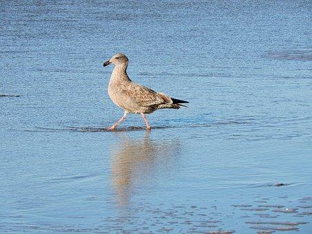 Gull, Herring, Lesser Black-backed, Wading, Coast, Bird